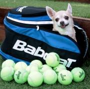 chihuahua, Babalot tennis bag, tennis balls, dog
